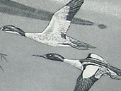 Federal Duck Stamp Prints